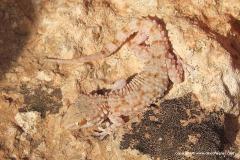 Tarentola fascicularis