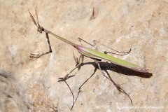 Mantodea sp.