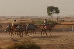 Camel Race Track
