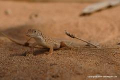 Acanthodactylus schmidti