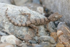 Trachydactylus hajarensis
