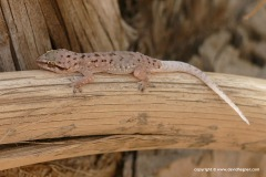 Hemidactylus robustus