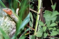 Cnemidophorus lemniscatus