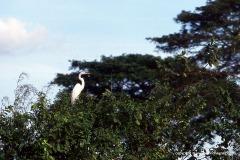 Ardea alba egretta