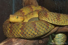 Atheris squamigera