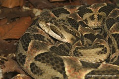 Bothrops diporus