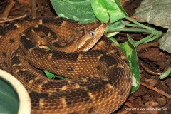 Bothrops matogrossensis