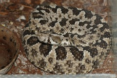 Bothrops pictus