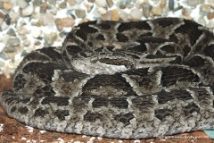Bothrops pubescens