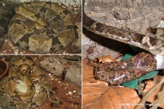 Bothrops venezuelensis