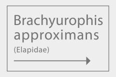 Brachyurophis approximans