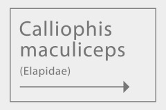 Calliophis maculiceps