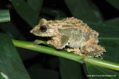 Kurixalus verrucosus