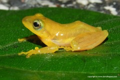 Rhacophoridae sp.
