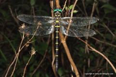 Anisoptera sp.