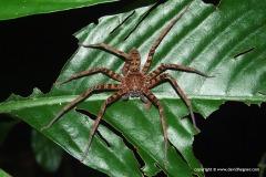 Sparassidae sp.