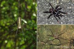 Nephila sp. / Sparassidae sp.
