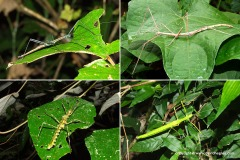 Phasmatodea sp.