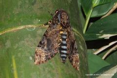 Acherontia sp.